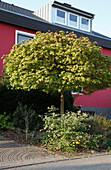 Acer platanoides 'Globosum' (Kugel-Ahorn) und Viburnum (Schneeball) im Vorgarten