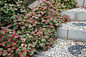 Houttuynia cordata 'Chamäleon' (Chamäleonpflanze) klettert über Treppe