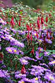 Aster dumosus 'Blaue Lagune' (Kissenaster), Fuchsia magellanica 'Gracilis' (Winterharte Fuchsie)