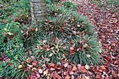 Baumscheibe von Zierkirsche bepflanzt mit Carex morrowii (Japan - Segge) und Aquilegia (Akelei)