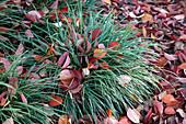 Carex morrowii (Japan - Segge) mit Herbstlaub