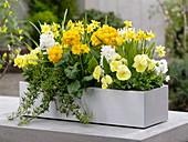 Weiß - gelber Frühlingskasten : Primula elatior (Hohe Primeln)