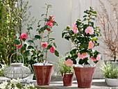 Camellia japonica 'Il Tramonto' links und 'Laurie Bray' rechts (Kamelien)