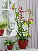 Gloriosa rothschildiana (Ruhmeskrone), Cordyline fruticosa 'Kiwi'