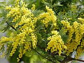 Acacia dealbata (Mimose)