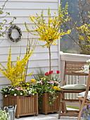 Holzkübel mit Forsythia (Goldglöckchen) Busch und Stamm, Tulipa (Tulpen)