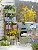 Frühlingsblumen in Wasserspeicherkästen : Primula 'Blue Sapphire'