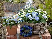 Blau - weißer Frühlingskorb : Viola wittrockiana 'Marina' (Stiefmütterchen)