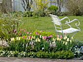Frühlingsbeet mit Tulpen und Stauden : Tulipa 'Van Eijk' weiß-pink