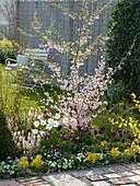Prunus subhirtella 'Fukubana' (Japanische Zierkirsche), Tulipa (Tulpen)