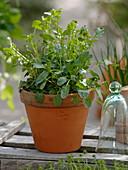 Echte Winterkresse (Barbarea vulgaris) in Tontopf