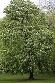 Aesculus hippocastanum (Blühende Rosskastanie)