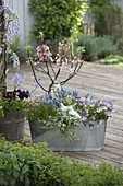 Malus 'Evereste' (Zierapfelbaum) mit Muscari 'Blue Magic'