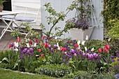 Tulipa 'White Triumphator' 'Valentine' lila-weiß , 'Van Eijk' rot-weiß (Tulpen