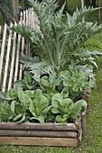 Hochbeet mit Artischocke (Cynara scolymus) und Spitzkohl (Brassica)