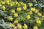 Rhododendron luteum (Gelbe Alpenrose, Pontische Azalee)