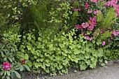 Schattenbeet mit Rhododendron, falscher Alraunwurzel und Straußfarn