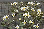Ranunculus aquatilis (Wasser-Hahnenfuß)