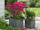 Rhododendron obtusum 'Georg Arends' (Japanische Azalee), Epimedium