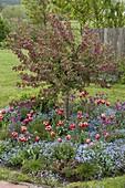 Malus ' Paul Hauber ' (Zierapfel), Baumscheibe mit Tulipa 'Leen van der Mark'