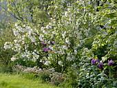 Malus (Apfelbaum), Saxifraga arendsii (Moossteinbrech), Tulipa (Tulpen)