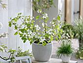 Viburnum plicatum (Japanischer Schneeball) und Armeria maritima 'Alba'