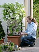 Frau unterpflanzt Wisteria floribundia 'Captan Fuji' (Weißer Blauregen)