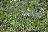 Scilla hyacinthoides (Hasenglöckchen), Allium ursinum (Bärlauch)