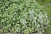 Marrubium vulgare (Andorn, Mäuseohr)