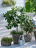 Duftbalkon mit Citruspflanzen und Kräutern