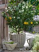 Citrus myrtifolia 'Chinotto' (Bitterorange) mit vielen Blüten