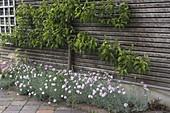 Dianthus plumarius 'Ine' (Feder-Nelke)