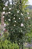 Rosa 'New Dawn' (Kletterrose), gesund, öfterblühend