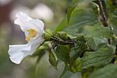 Philadelphus coronarius (Bauernjasmin, Falscher Jasmin, Pfeifenstrauch)