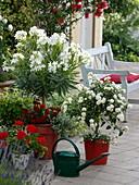 Nerium oleander 'Soeur Agnes' (Weißer Oleander), Lantana Suntana 'White'