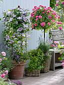 Clematis 'Piilu' (Waldrebe) unterpflanzt mit Thymian (Thymus vulgare)