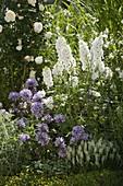 Campanula glomerata 'Caroline' (Knäuelglockenblume), Delphinium elatum