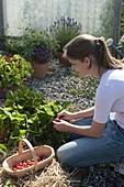 Junge Frau pflückt Erdbeeren (Fragaria ananassa) im Beet