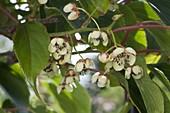 Blüten von Mini-Kiwi 'Issai' (Actinidia arguta) selbstfruchtbar