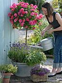 Rosa 'Heidetraum' (Bodendeckerrose) auf Stamm unterpflanzt mit Lavendel