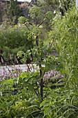 Angelica archangelica (Echte Engelwurz)