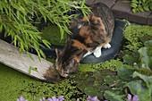 Katze Minka trinkt aus Gartenteich