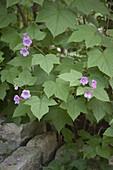 Rubus odoratus (Zimt-Himbeere)