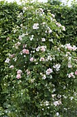 Rosa 'Kir Royal' - (Kletterrose) - ADR Rose öfterblühend - duftend