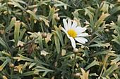 Beginnende Verticillium - Welke an Argyranthemum frutescens (Margerite)