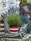 Lavendel 'Hidcote Blue' (Lavandula) in rot-weiß angemaltem Tontopf
