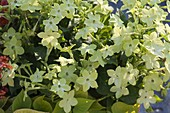 Nicotiana alata 'Lime Green' (Ziertabak)