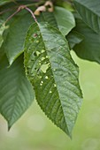Schrotschusskrankheit an Prunus cerasus (Sauerkirsche)