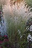 Calamagrostis x acutiflora 'Overdam' (Gestreiftes Reitgras)