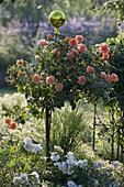 Rosa 'Westzeit' (Beetrose) auf Stamm von Noack